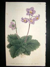 Curtis 1793 Hand Col Botanical Print. Borage Leaved Mullein 236